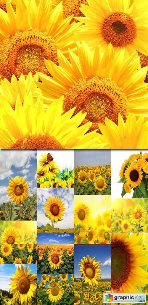 Sunflowers backgrounds, 25xJPG