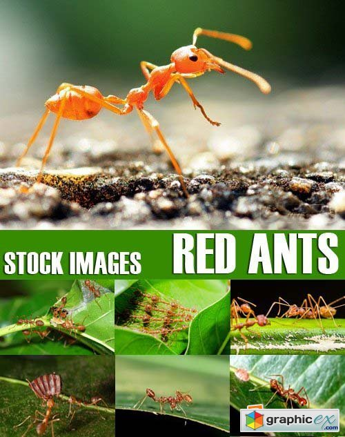 Stock Photos - Red Ants, 25xJPG