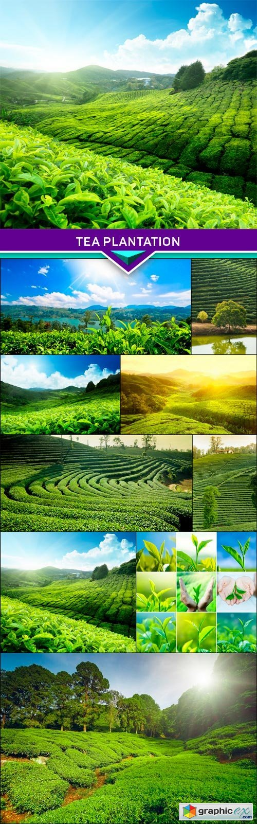 Tea plantation 10x JPEG