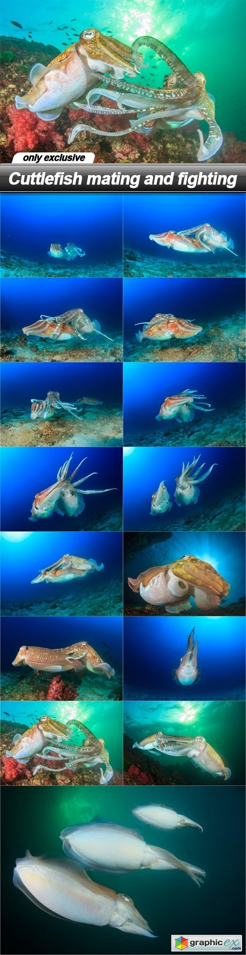 Cuttlefish mating and fighting - 15 UHQ JPEG