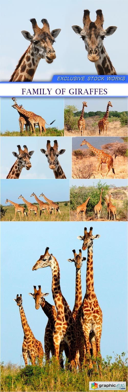 Family of giraffes 7X JPEG