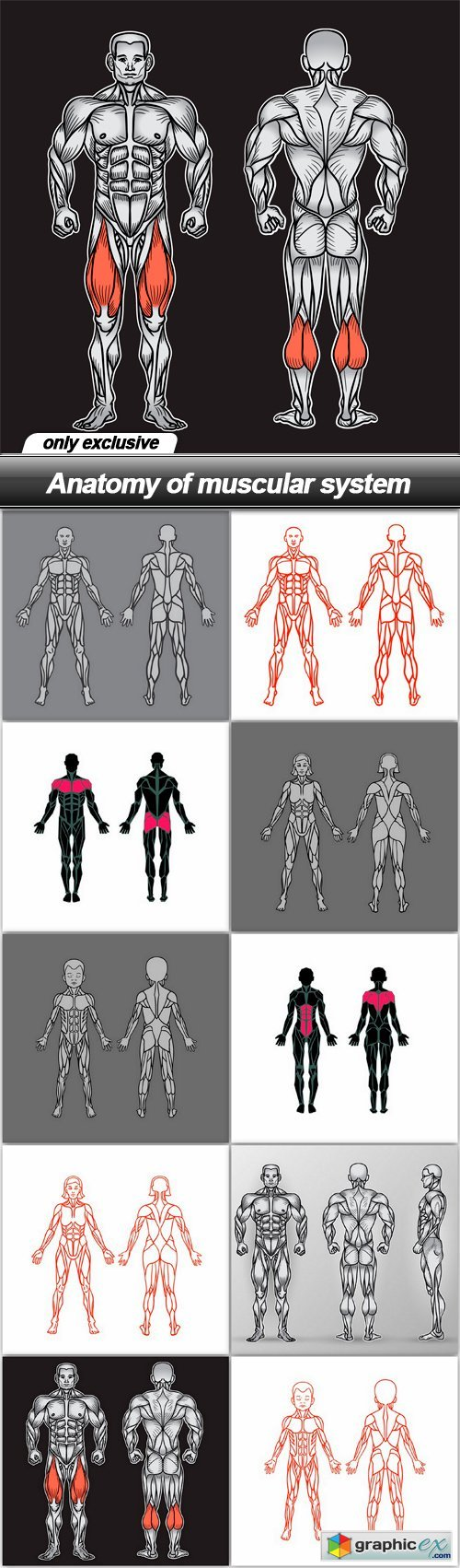 Anatomy of muscular system - 10 EPS