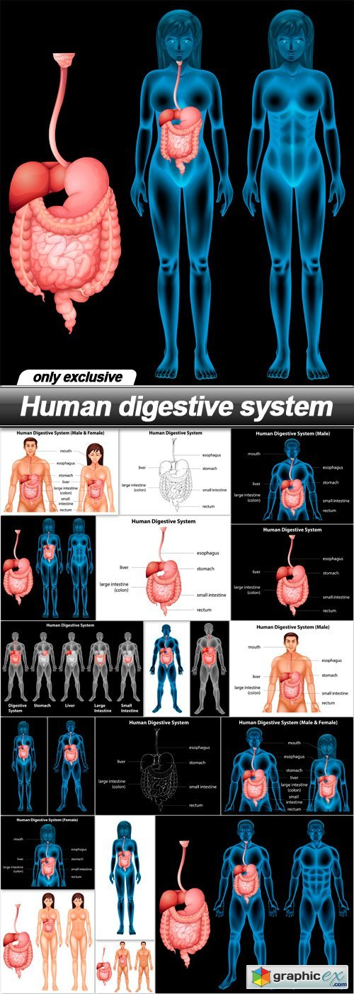 Human digestive system - 19 EPS
