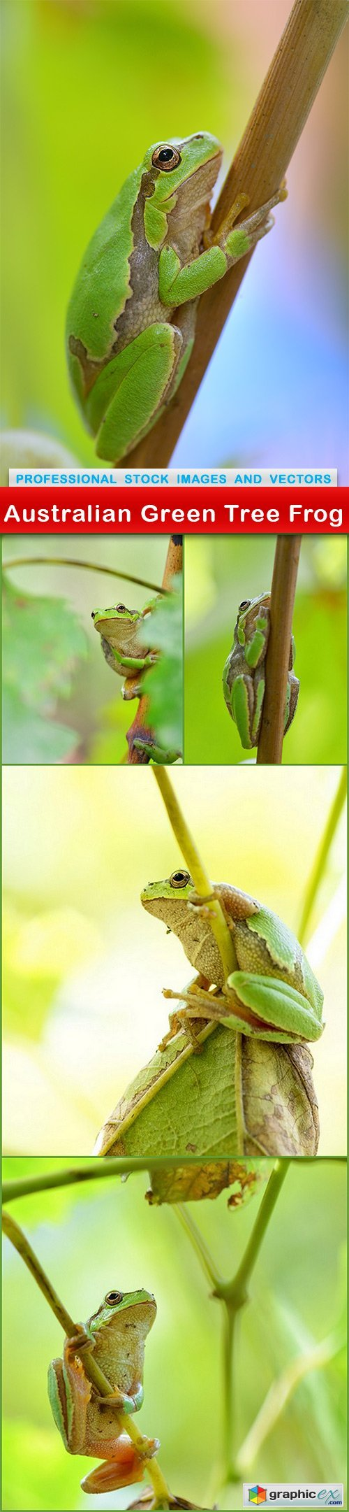 Australian Green Tree Frog - 5 UHQ JPEG