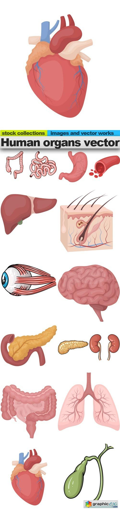 Human organs vector, 15 x EPS