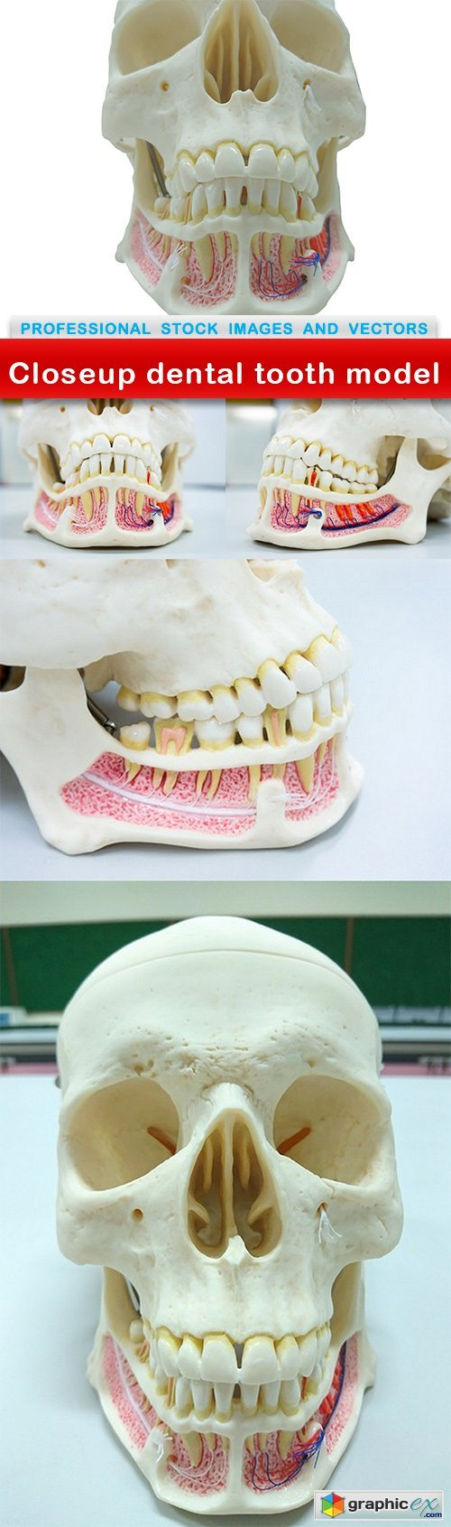 Closeup dental tooth model - 5 UHQ JPEG