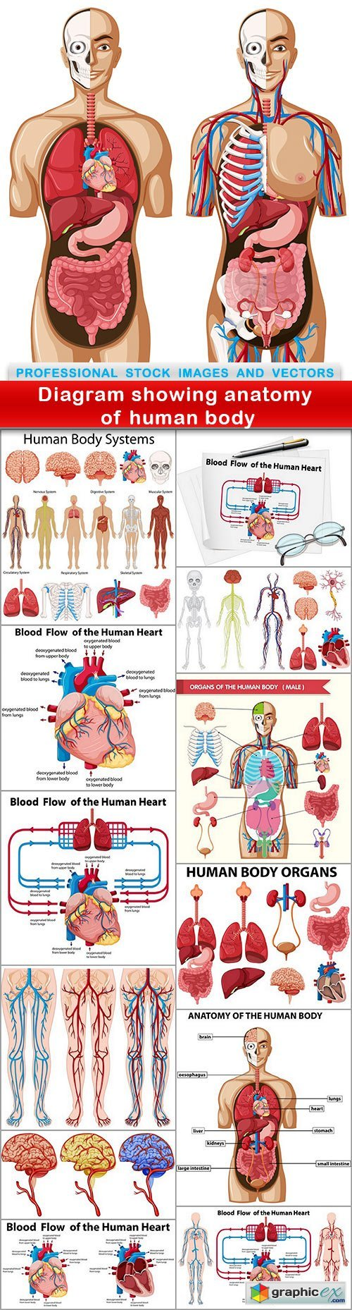 Diagram showing anatomy of human body - 13 EPS
