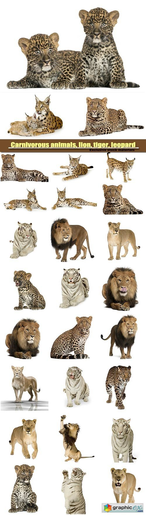 Carnivorous animals, lion, tiger, leopard and lynx