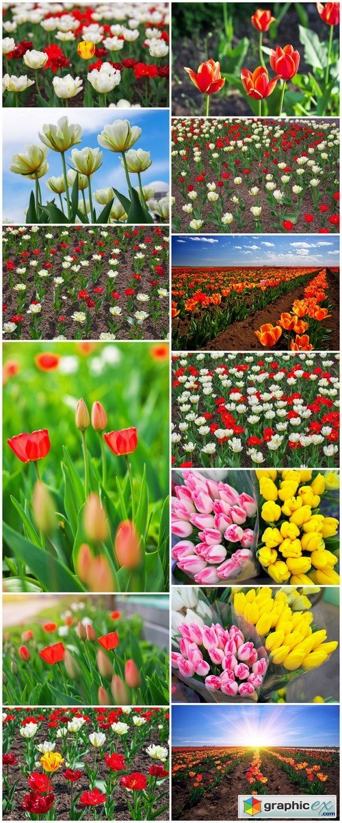 Colorful flowers in springtime Tulips field background 13X JPEG