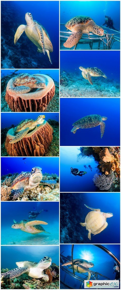 Green Sea Turtle on a tropical reef 12X JPEG