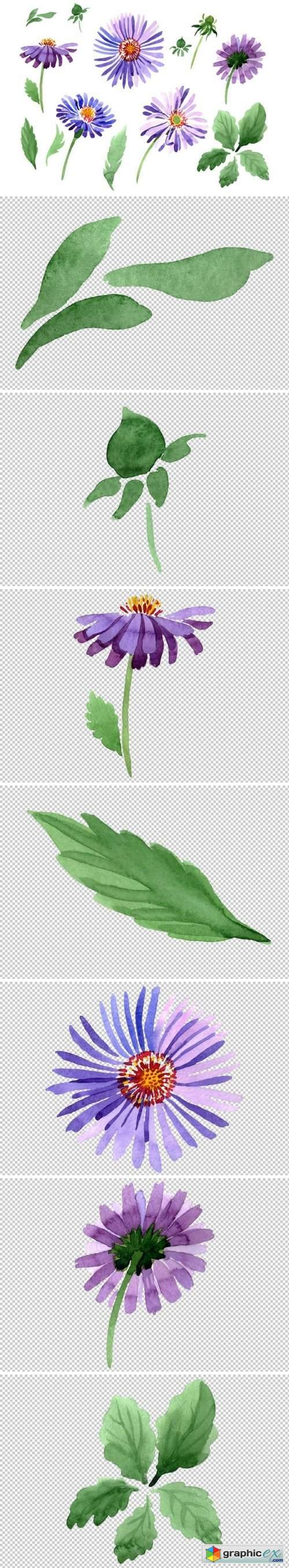 Asters Watercolor png